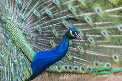 Portrait of beautiful peacock with feathers out Stock Image
