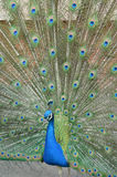 Portrait of beautiful peacock. With feathers out Stock Photography