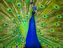 Portrait of beautiful peacock Royalty Free Stock Photography