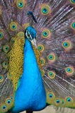 Portrait of beautiful peacock with feathers out Royalty Free Stock Photography