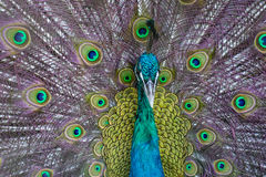 Portrait of a beautiful peacock Royalty Free Stock Images