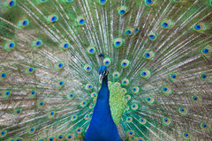 Portrait of beautiful peacock with feathers out Stock Images
