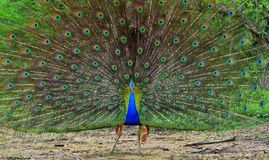 Portrait of beautiful peacock with feathers out. royalty free stock image