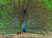 Portrait of beautiful peacock with feathers out. Stock Image