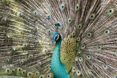 Portrait of beautiful peacock with feathers out. Malaysia Royalty Free Stock Photos