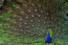 Portrait of beautiful peacock with feathers out. royalty free stock photography