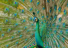 Portrait of beautiful peacock with feathers out Royalty Free Stock Photos