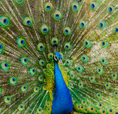 Portrait of a beautiful peacock. photo of wild animals. Peacock Royalty Free Stock Photography