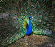 Portrait of a beautiful peacock. photo of wild animals. Peacock Stock Image