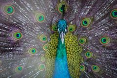 Portrait of beautiful peacock Stock Image