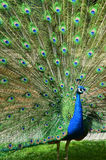 Portrait of beautiful peacock with spread tail-feathers Stock Photo