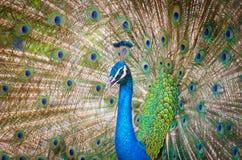 Portrait of beautiful peacock Stock Photo