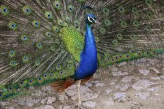 Portrait of beautiful peacock with spreading its tail.  stock photography