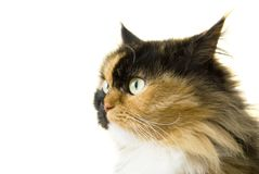 Portrait of a beautiful Persian cat� Isolated Royalty Free Stock Image