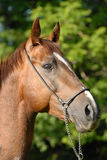 Portrait of a beautiful proud horse of Vladivostok Royalty Free Stock Photography