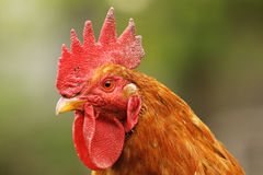 Portrait of beautiful proud rooster Royalty Free Stock Photo