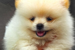 Portrait of a beautiful puppy species Pomeranian Stock Images