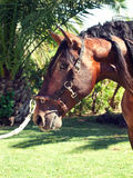 Portrait of beautiful purebred Andalusian bay stallion, Spain Royalty Free Stock Photos