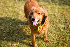 Purebred cocker spaniel Stock Image