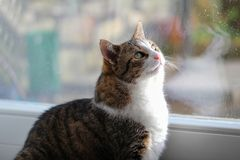 House cat. Portrait of a beautiful purebred house cat stock photo