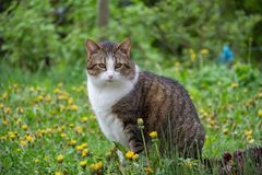 House cat. Portrait of a beautiful purebred house cat royalty free stock image