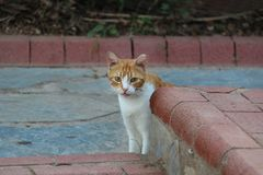 House cat. Portrait of a beautiful purebred house cat royalty free stock photo
