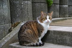 House cat. Portrait of a beautiful purebred house cat stock photos