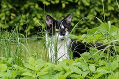 House cat. Portrait of a beautiful purebred house cat stock photography
