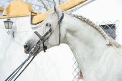 Portrait of beautiful purebred PRE stallion in dressage bridle. Andalusia. Spain.  stock photos