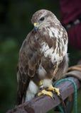 Portrait of a beautiful raptor or bird of prey Stock Photos