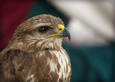 Portrait of a beautiful raptor or bird of prey Stock Images