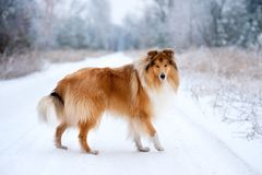 Portrait of a beautiful red fluffy dog collie stock image