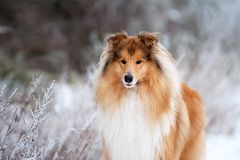 Portrait of a beautiful red fluffy dog collie royalty free stock image