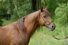 Portrait of a beautiful Red hack stallion Royalty Free Stock Photography