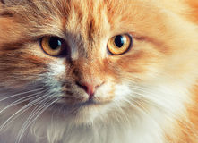 Portrait of beautiful red-haired cat Stock Images