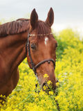 Portrait of beautiful red horse Royalty Free Stock Photography