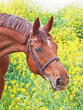 Portrait of beautiful red horse Stock Images