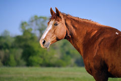 Portrait of beautiful red horse. On a green field background Stock Photography