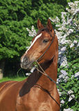 Portrait of beautiful red horse near flower Royalty Free Stock Photos