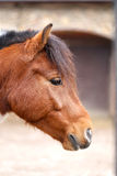 Portrait of beautiful red horse. Photographed in close-up Royalty Free Stock Photography