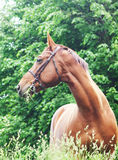 Portrait of beautiful red horse russian breed Stock Photography