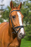 Portrait of beautiful red horse in summer against nature Stock Photography