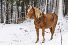 Portrait of beautiful red horse in the winter  mountain Royalty Free Stock Photography