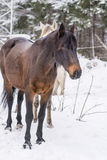 Portrait of beautiful red horse in the winter  mountain Royalty Free Stock Photo