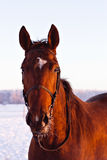 Portrait of beautiful red horse in winter. Sunset royalty free stock image