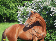 Portrait of beautiful red mare around flower Royalty Free Stock Images