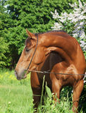 Portrait of beautiful red mare around flower Stock Photos