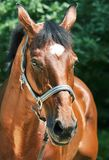 Portrait of beautiful relax  sportive  mare Stock Photos