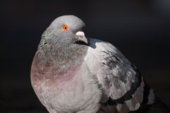 Portrait  of a beautiful relaxing pigeon. Stock Photos