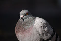 Portrait  of a beautiful relaxing pigeon. Stock Photo